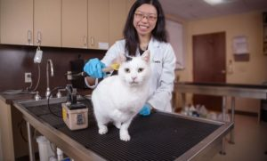 Avets radioiodine therapy for cats